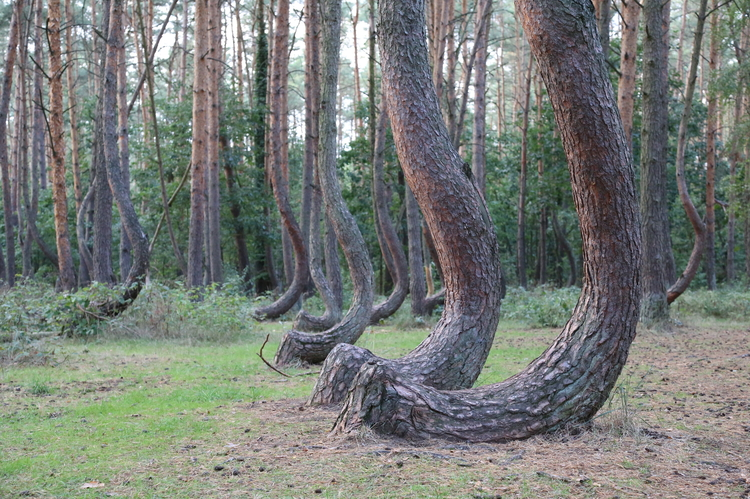 Natural_Monument_Krzywy_Las_the_Crooked_Forest_EN