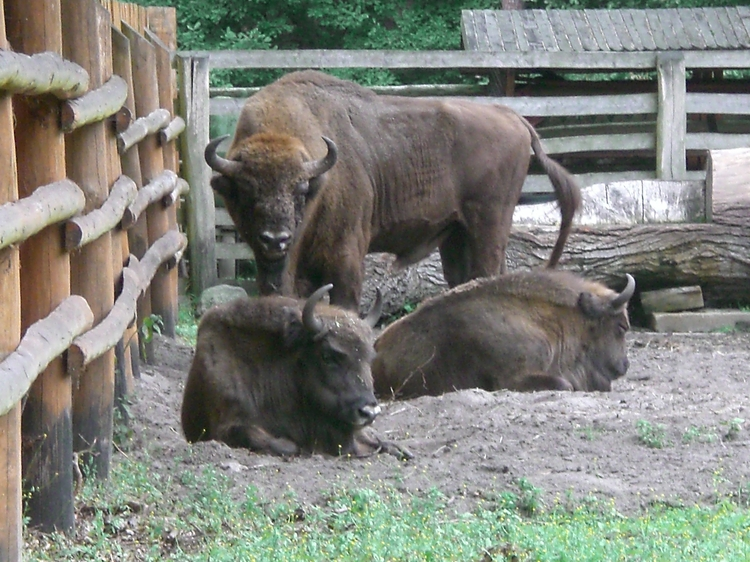 The_Bison_Demonstration_Farm